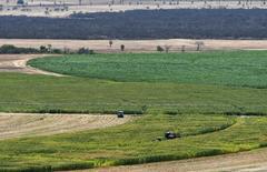 Plantação de milho em Limoeiro do Norte, no Estado do Ceará 15/01/2015 REUTERS/Davi Pinheiro