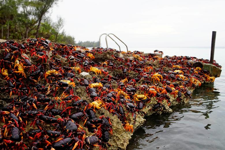 Image result for Crabs invade Cuba Bay of Pigs