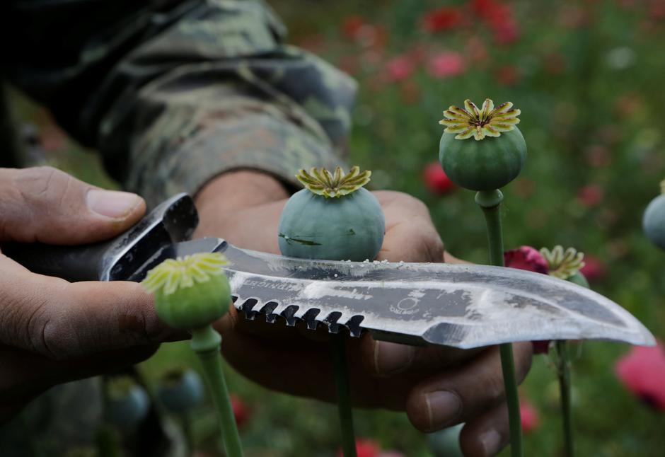 Mexico army fights surge in violence for control of poppy country a soldier shows the lancing of a poppy bulb to extract the sap which is used to make opium during a military operation to destroy a poppy field in the mightylinksfo
