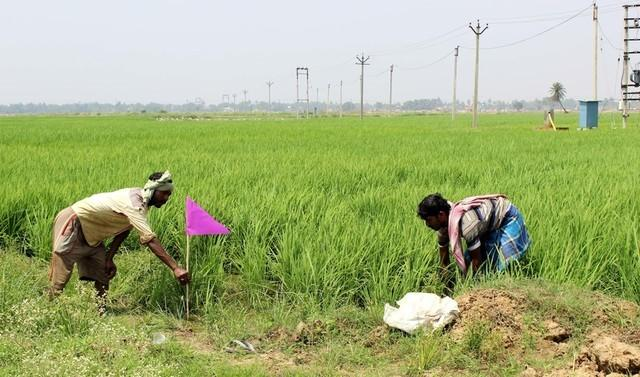 Farmer Dibakar Ghosh with a farm worker hops from small parcels of lush green rice crops sticking pink flags marking those already sprayed with fertilizers. Singur, West Bengal, Mar 20, 2017. Thomson Reuters Foundation/Manipadma Jena