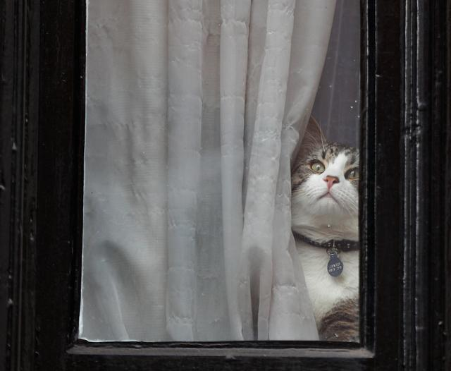 Julian Assange's cat sits at the window of Ecuador's embassy where WikiLeaks founder Julian Assange is taking refuge, in London, Britain, May 19, 2017. REUTERS/Peter Nicholls