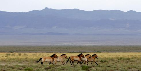 Wild horses return to Mongolia's steppes