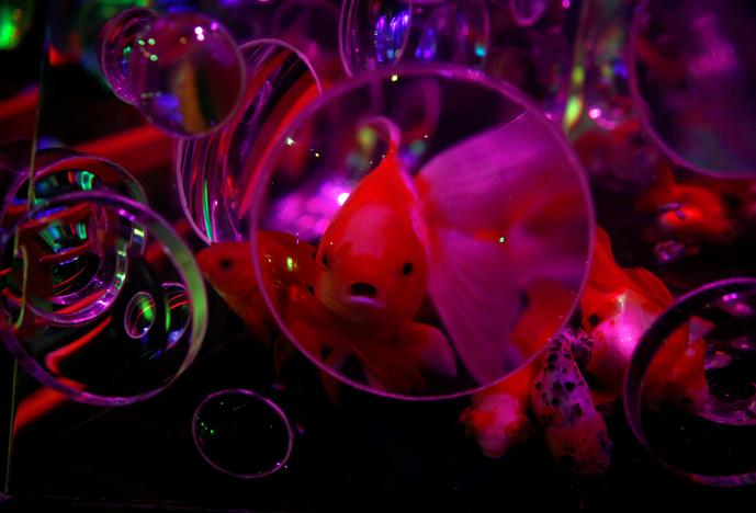 Goldfish swim in illuminated tanks at the Art Aquarium exhibition in Tokyo, Japan July 6, 2017. Kim Kyung-Hoon