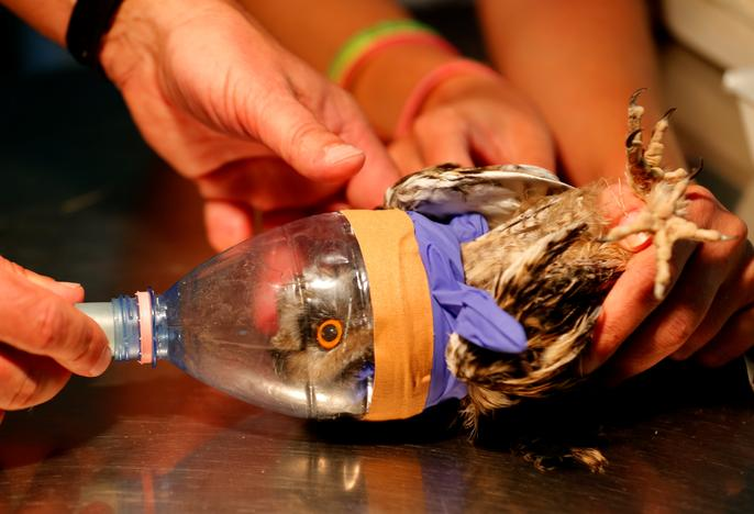 An injured owl receives anesthesia in order to have its broken wing fixed at a hospital for wild birds in Hortobagy National Park, Hungary June 27, 2017. Laszlo Balogh
