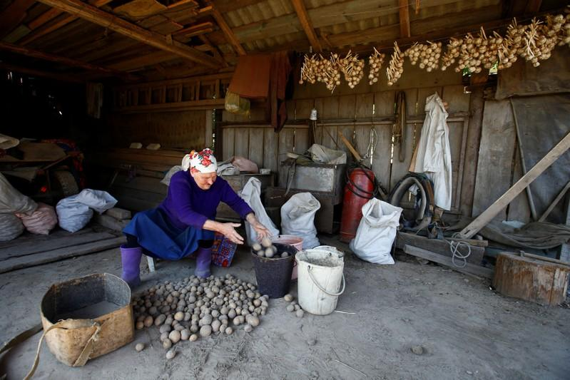 Anna Krivenchik, 71, sorts out potatoes before planting in the village of Kharkovo, Belarus, September 1, 2017. Vasily Fedosenko