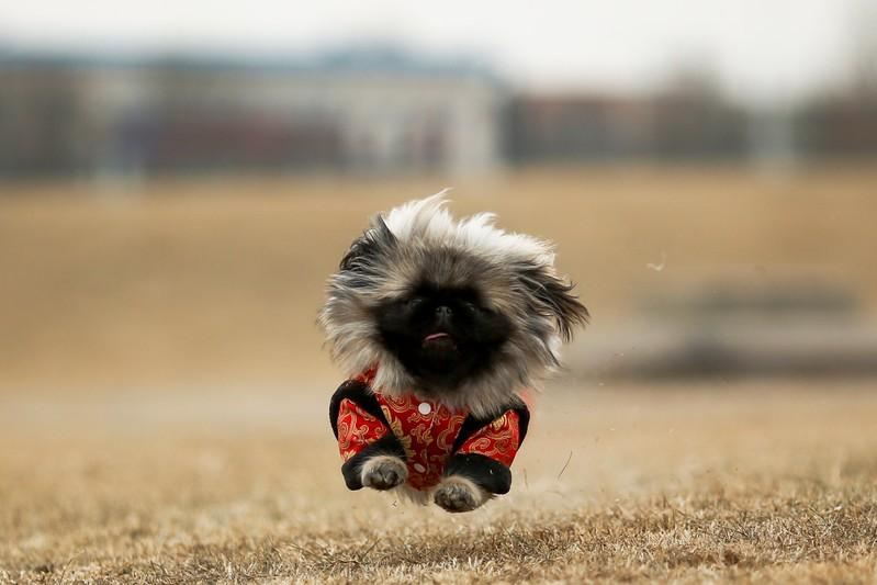 Qian Hao's imported Pekingese dog, Mixiu, runs in a park in Beijing, China, February 8, 2018. Picture taken February 8, 2018. Thomas Peter TPX IMAGES OF THE DAY