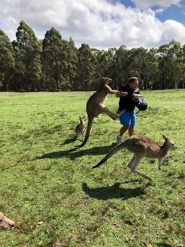 A man is attacked by kangaroos after feeding them near Morisset Park, Australia in this undated photo obtained from social media.  Kroosn Shuttle Service Pty Ltd/via