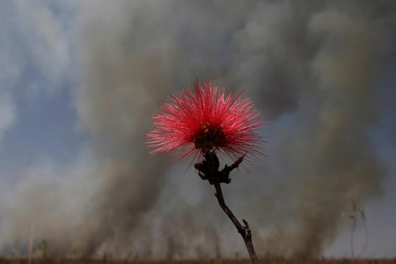 A Calliandra flower, which typically grows in the Brazilian Cerrado savanna, is seen surrounded by smoke after a fire broke out in an ecological reserve near the airport in Brasilia, Brazil September 8, 2011.  Ueslei Marcelino/File photo