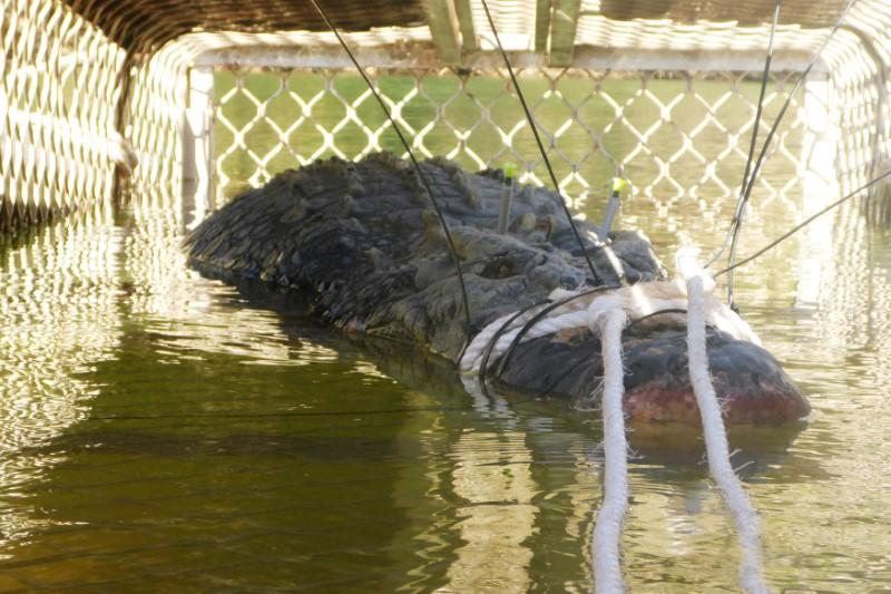 A near 5-metre crocodile that was captured in Taylor's Park in the Northern Territory, Australia is seen in this undated image obtained July 10, 2018.  AAP Image/Supplied by Northern Territory Parks and Wildlife via