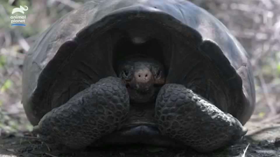 Missing for a century, giant Galapagos tortoise is discovered again