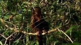 Capuchin monkeys more than just a pretty face