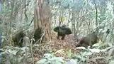 World's rarest gorilla makes camera-trap debut