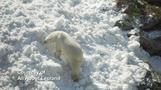 フィンランドで動物園のシロクマに雪のプレゼント(26日)