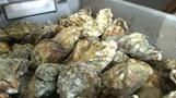 Old shells recycled as oyster sanctuary to halt decline