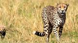 Cheetah tracking tech hopes to cut animal inbreeding