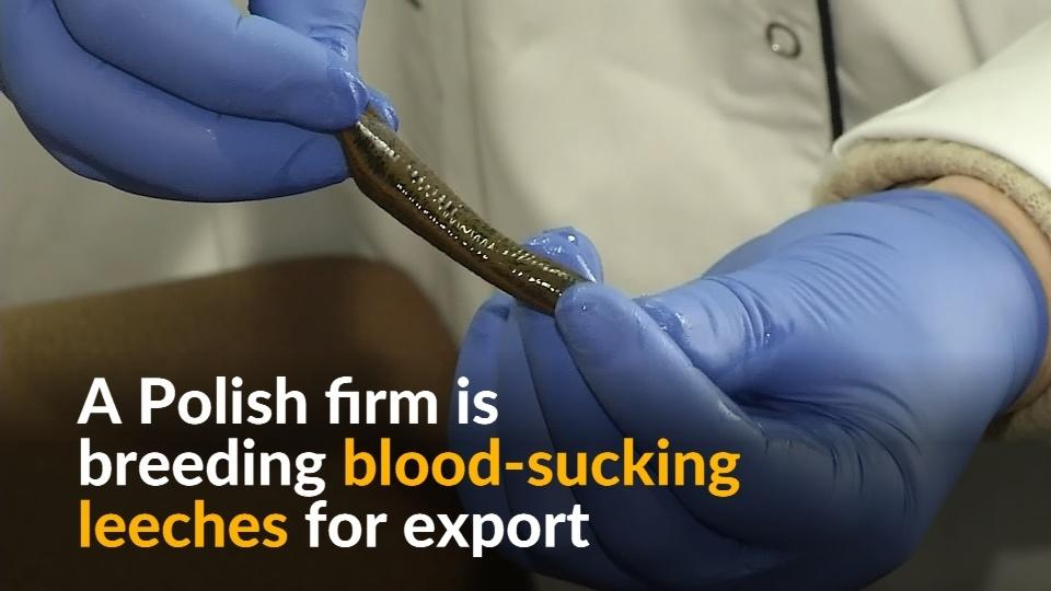 leeches and medical use Leeches and maggots: doctors' old we use leeches to restore blood flow to an is also director of the regional center for medical leeches.