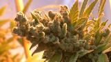 Cannabis-Produktion für deutschen Markt
