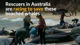 Rescuers race to save whales after mass stranding in Australia