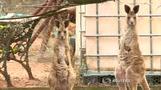 豪州の動物保護活動家、カンガルーに襲われ負傷(15日)