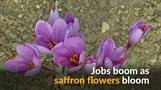 ギリシャでサフラン栽培拡大、若者の雇用を助ける(8日)