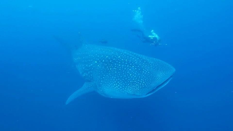 Underwater ultrasound sheds light on whale shark reproduction