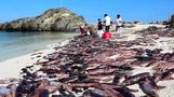 Waves of dead cuttlefish mysteriously wash up in Chile