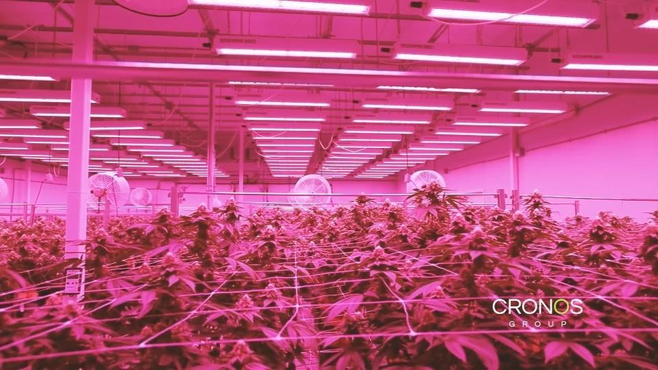 Yeast: the marijuana market's magic ingredient?