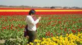 منتجو الزهور في هولندا يدعون السائحين إلى تجنب دهس التيوليب