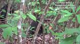 カメ肉を食べる野生チンパンジー、ガボンで初めて観察(字幕・24日)