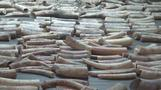 Singapore seizes record volume of elephant ivory