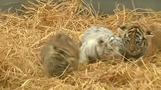 مولد ثلاثة نمور بنغالية ينشر البهجة في حديقة حيوان بيرو