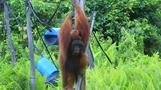 インドネシアの熱帯雨林に住むオランウータン、首都移転で危機に(字幕・5日)