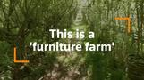 $12,000 chairs are grown straight from the ground in this 'furniture farm'