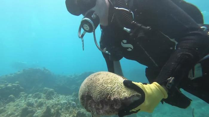 A race to save Caribbean corals from a deadly disease