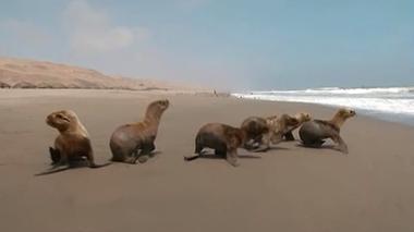 ペルーで保護された赤ちゃんアシカ、無事に海へ帰る(字幕・17日)