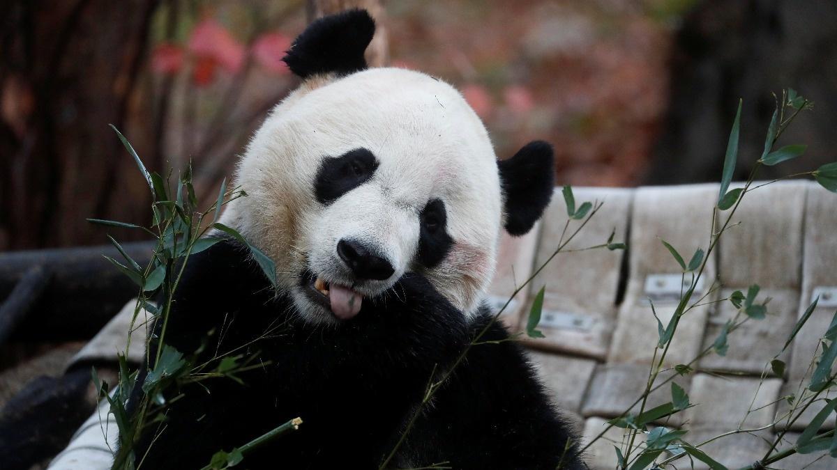 Bei Bei takes 'Panda Express' to China