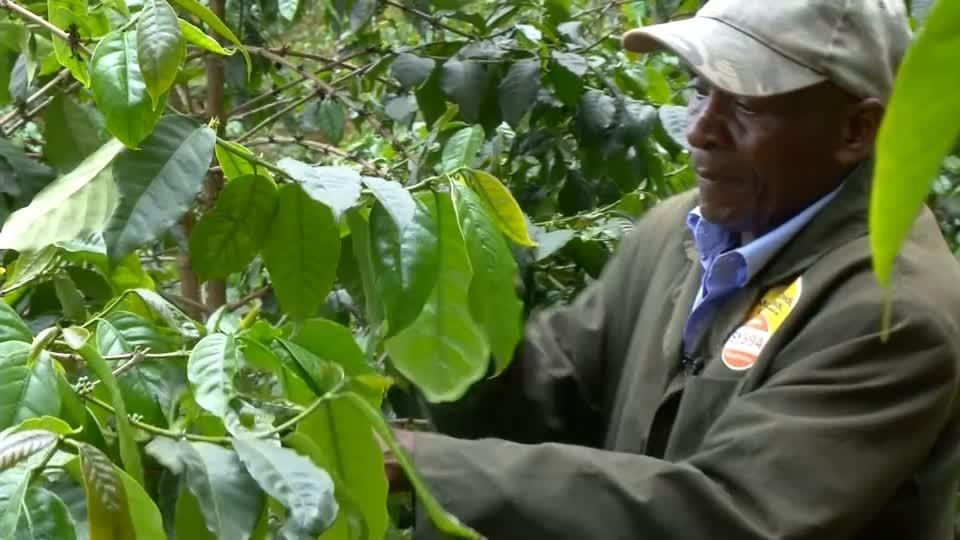 Kenyan coffee farmers grapple with low prices, climate change