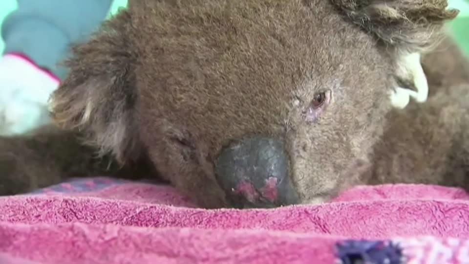 Meet 'Taylor': A nose for sniffing out koalas