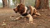 頑張れ、コアラ捜索犬 森林火災の豪州を4歳のスパニエル犬がゆく(字幕・16日)