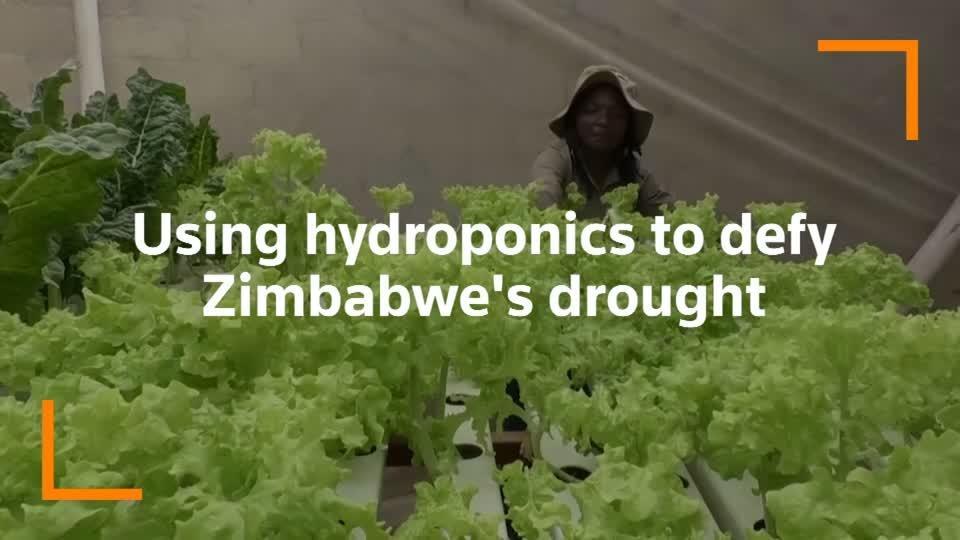 A backyard hydroponic farm beats Zimbabwe's drought