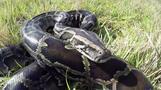 巨大ニシキヘビと戦う男たち、米フロリダ州のパイソン・ハンター(字幕・18日)