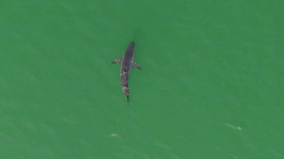 How drones help experts understand shark behavior
