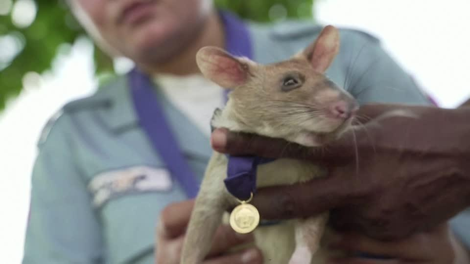 Landmine-sniffing 'hero' rat awarded gold medal