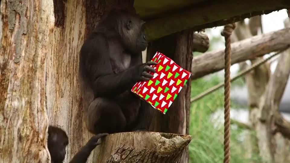 Christmas comes early for London Zoo's gorillas
