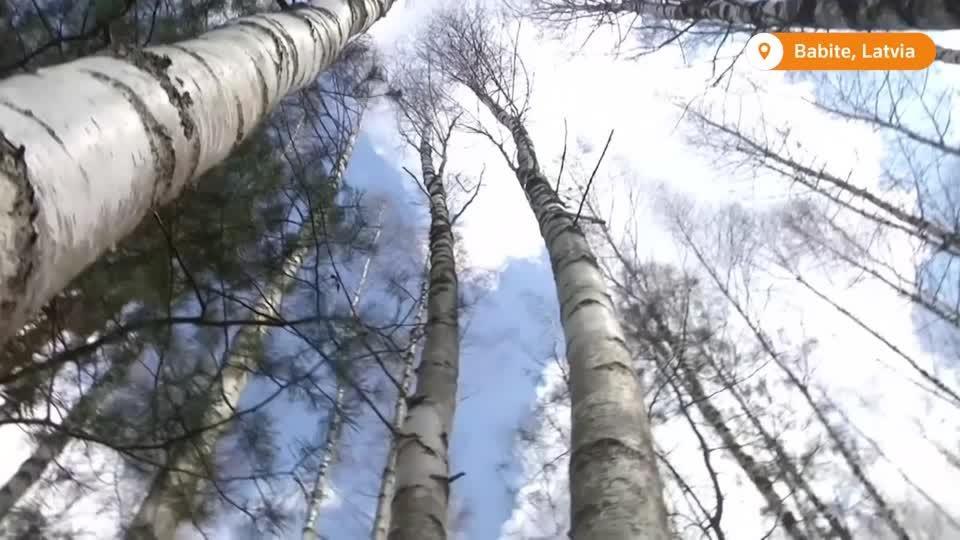 Latvian birch sap craze gets a high-tech upgrade