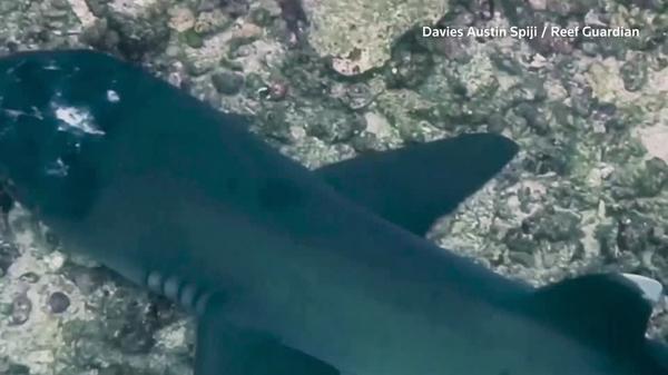 謎の皮膚病を発症したサメの目撃相次ぐ、マレーシア沖(字幕・14日)