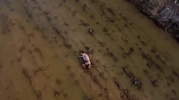 あちこちに浮かぶブタの死がい、水害で養豚業に打撃 中国河南省(字幕・27日)