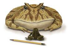"""<p>Dessin du Beelzebufo ampigna, un robuste amphibien, surnommé """"la grenouille du diable"""", découvert par des scientifiques dans le nord-ouest de Madagascar et qui aurait vécu il y a 65 à 70 millions d'années. La créature mesurait 41 centimètres de long et pouvait peser jusqu'à 4,5 kg. / Dessin diffusé le 18 février 2008/REUTERS/Luci-Betti-Nash/HO</p>"""