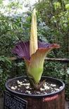 """<p>Un autre spécimen dans le sud-ouest de l'Angleterre. La fleur de l'Amorphophallus Titanum, littéralement le """"pénis géant de forme étrange"""", attire les foules au Jardin botanique de Belgique, dans les environs de Bruxelles. Sa floraison, complètement imprévisible, ne dure que 72 heures. /Photo d'archives/REUTERS/Steve Bedser/Eden Project</p>"""