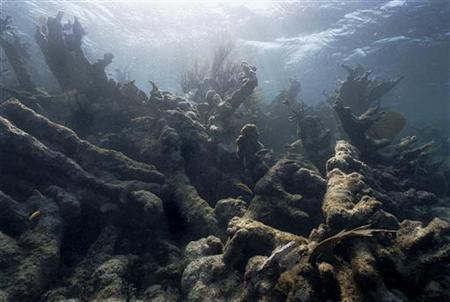 An undated photo shows the effect of ''bleaching'' on coral off Caye Caulker, Belize. REUTERS/Susannah Sayler